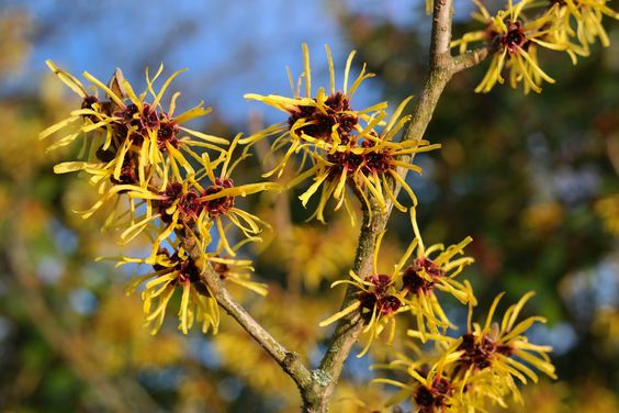 witch-hazel-999520_1920