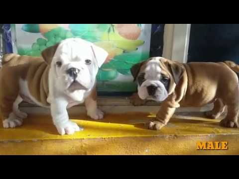 Top British Bulldog Puppies This Week For Sale In India Beautiful
