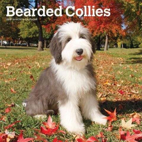 Bearded Collies Wall Calendar In 2020 Bearded Collie Dog Breeds Collie