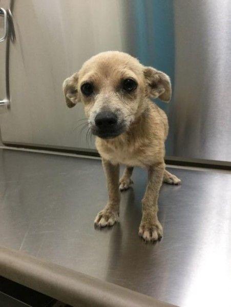 Chihuahua And Dachshund Mixed Dog For Adoption In Houma Louisiana
