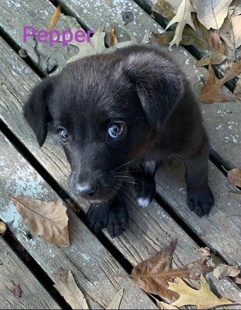Adopt Pepper On Labrador Retriever Pet Adoption Dog Adoption