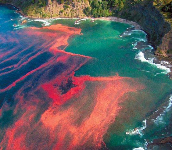 Red tide is a common name for a phenomenon more correctly known as an algal bloom (large concentrations of microorganisms), an event in which estuarine, marine, or fresh water algae accumulate rapidly in the water column and results in discoloration of the surface water.