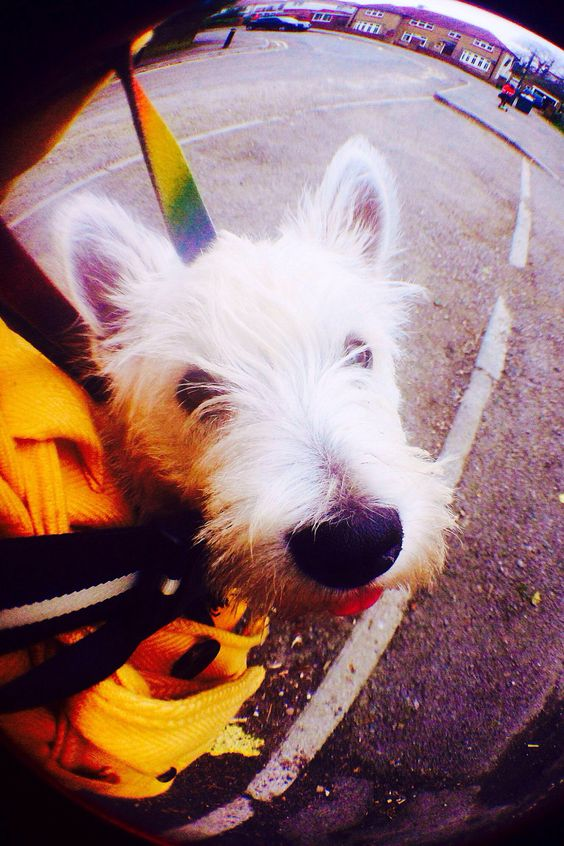 The adventures of my Westie puppy Chalky (Doris, when naughty!)