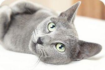 Wayne Pa Russian Blue Meet Boris Russian Blue Mix A Cat For Adoption Http Www Adoptapet Co Russian Blue Cat Personality Cat Personalities Russian Blue