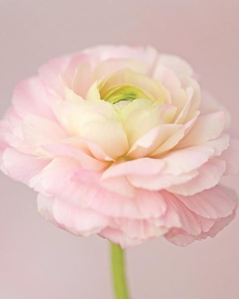 Ranunculus Elegance Pastello Ranunculus Flowers Ranunculus Ranunculus Asiaticus