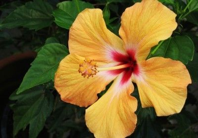 The basics of caring for tropical hibiscus are quite similar whether the plant is outdoors, or in a container in the living room. Learn how easy they are in this article.