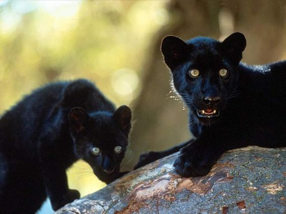 Black Panther Kitts