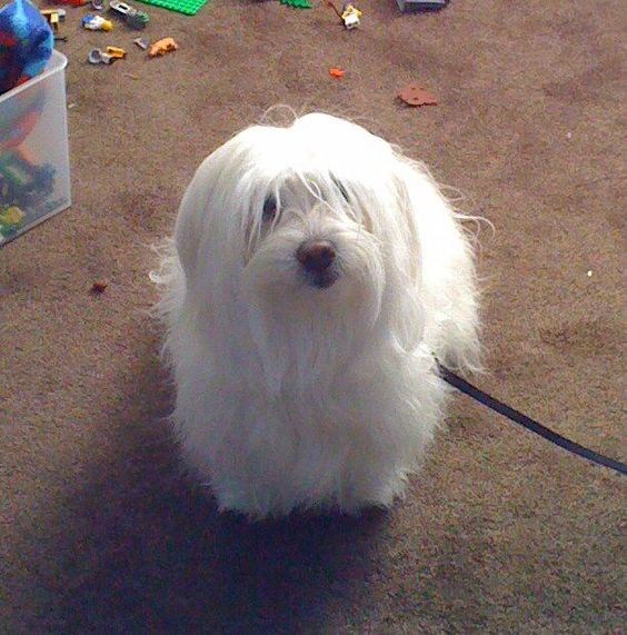 The Bichon Frise and Coton De Tulear Mix is a special dog