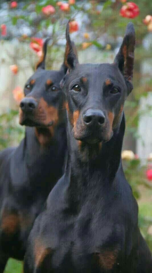 Doberman With Images Doberman Pinscher Doberman Dogs Doberman