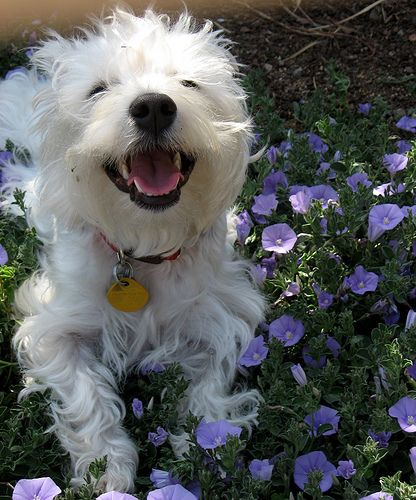 A Westie's smile is contagious ;) LOOK WHO'S LAUGHIN' NOW, DUDE....