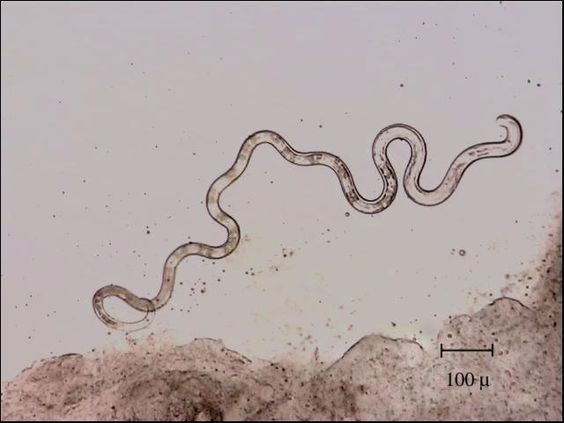 Nematodes also known as roundworms are a very common for Worms in freshwater fish