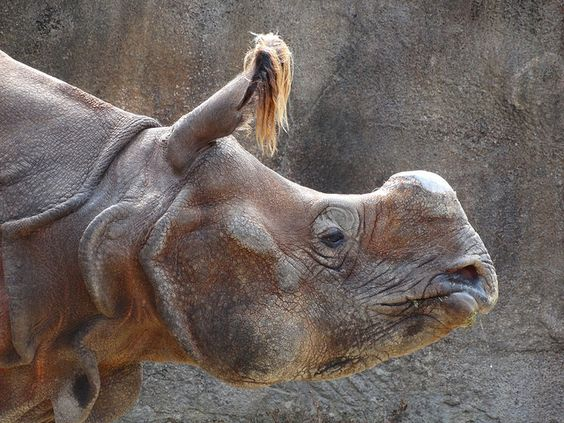 Indian rhino - profile | Flickr - Photo Sharing!