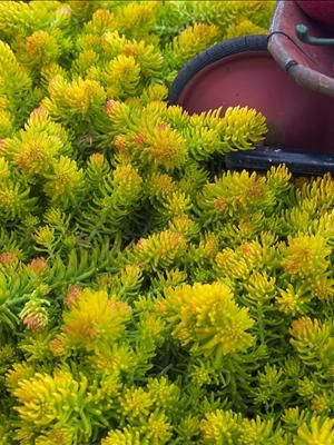 Sedum repestre 'Angelina' | The neon green looks great under blues and purples. Absolutely effortless. Flowers for the bees. Holds the slope. Loves the sun. Orange in fall. Keeps its color in winter even! Would look lovely with a few Schubertii or Globemaster Allium rising out of it. (not native)