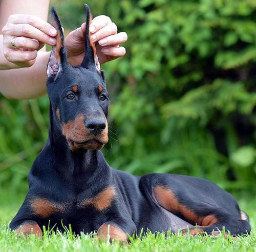European Doberman Puppies For Sale In Usa Doberman Doberdane