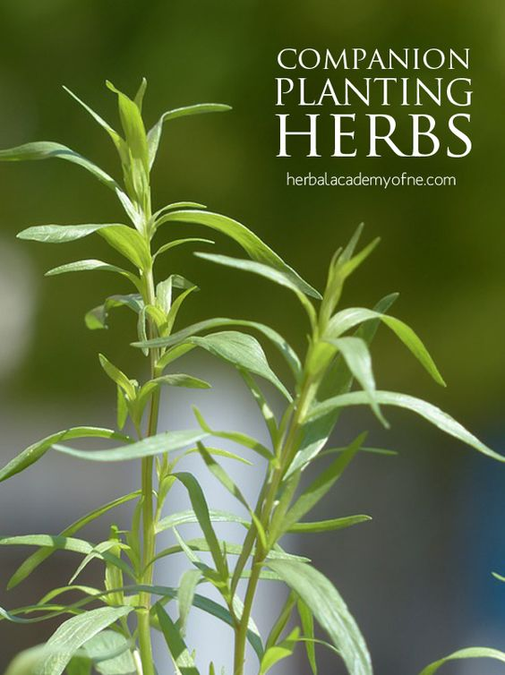 Companion Planting Herbs And Vegetables On Pinterest 400 x 300