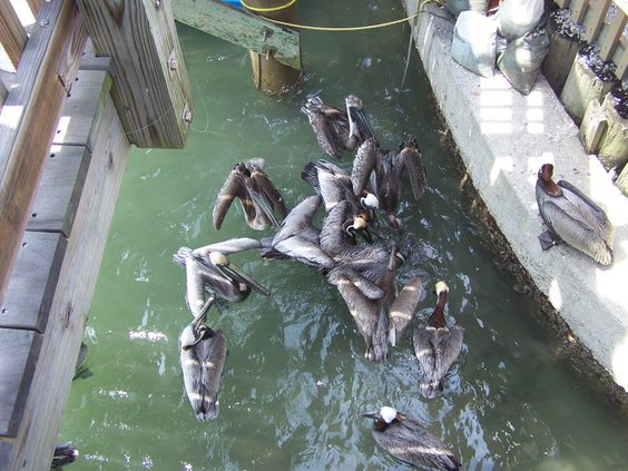 Pelicans enjoying fish scraps