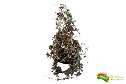 Unikat Ceropegia Wooda Ceropegia Woodii Lampion Chinski Bardzo Duza Gesta Pedy Ponad 1m W Doniczce O Sre Wild Nature Christmas Tree Holiday Decor