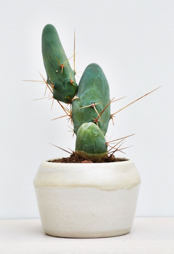 A quirky potted cactus in a simple but beautiful ceramic planter.