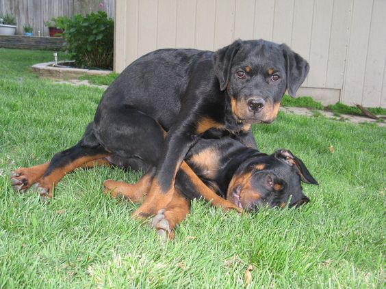 Stop fighting for a sec and pose for a picture.: Rottweilers, Rottweiler, Loving Rotts, Pictures, Puppy