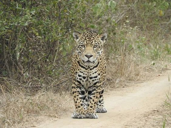 Jaguar Time! Experience the Wonders of Bolivia with #wildographer Nicholas Mcphee. #enquiretoday http://www.nicksadventuresbolivia.com/