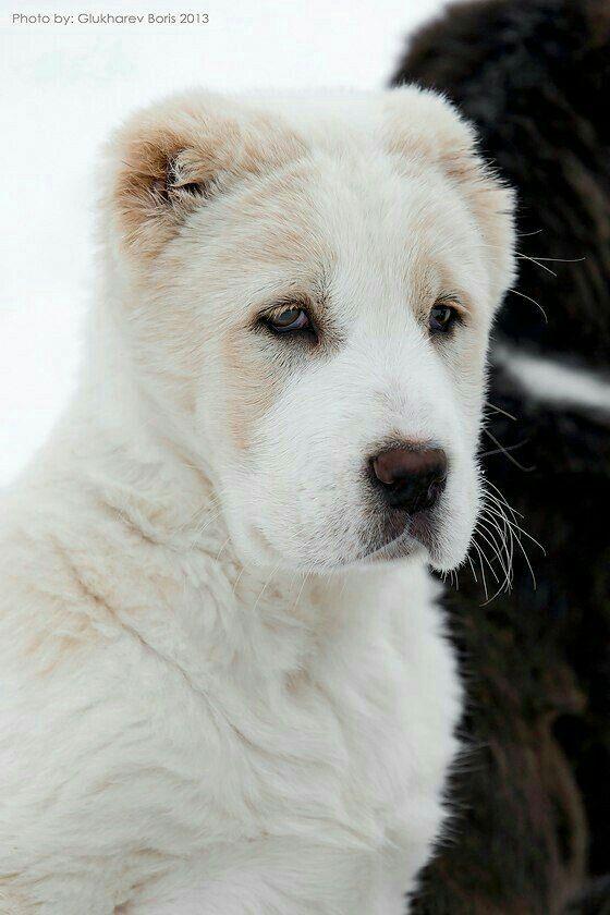 Pin By Zoe Wilson Groark On Central Asian Shepherd Dog Breeds
