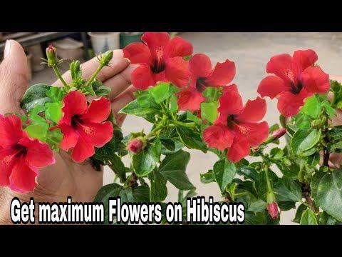 How To Get Maximum Flower From Hibiscus 100 Maximum Blooming On Hibiscus Youtube Hibiscus Plant Hibiscus Hibiscus Garden