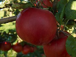 McIntosh apple, 1796 by John McIntosh, Dundas County Ontario  I did not know that.  Impressive