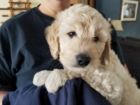 Litter Of 9 Goldendoodle Puppies For Sale In Burton Oh Adn 63398 On Puppyfinder Com Gender Female Puppies For Sale Goldendoodle Goldendoodle Puppy For Sale