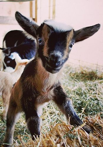 I got to play with little baby goats on Sunday.  They are so cute!!!  Thanks Rachelle and fam!!!