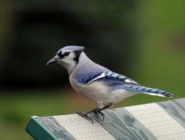 Animal Spirit Guides Meanings: Swallow, Woodpecker, and Blue Jay