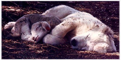 Maremma sheepdog gentle yet protective of their farm animals
