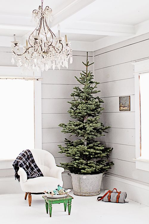 CHRISTMAS TREES: Indoor Planted Live Tree