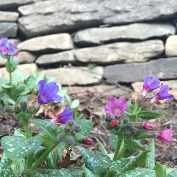 Lungwort. An early bloomer and great for shade gardens.
