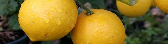 Grow a lemon tree from seed.