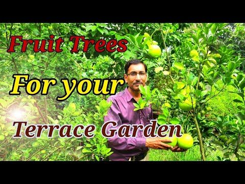 Growing Fruit Trees In Container Or Pots In A Terrace Garden Youtube Fruit Trees In Containers Fruit Trees Passion Fruit Plant