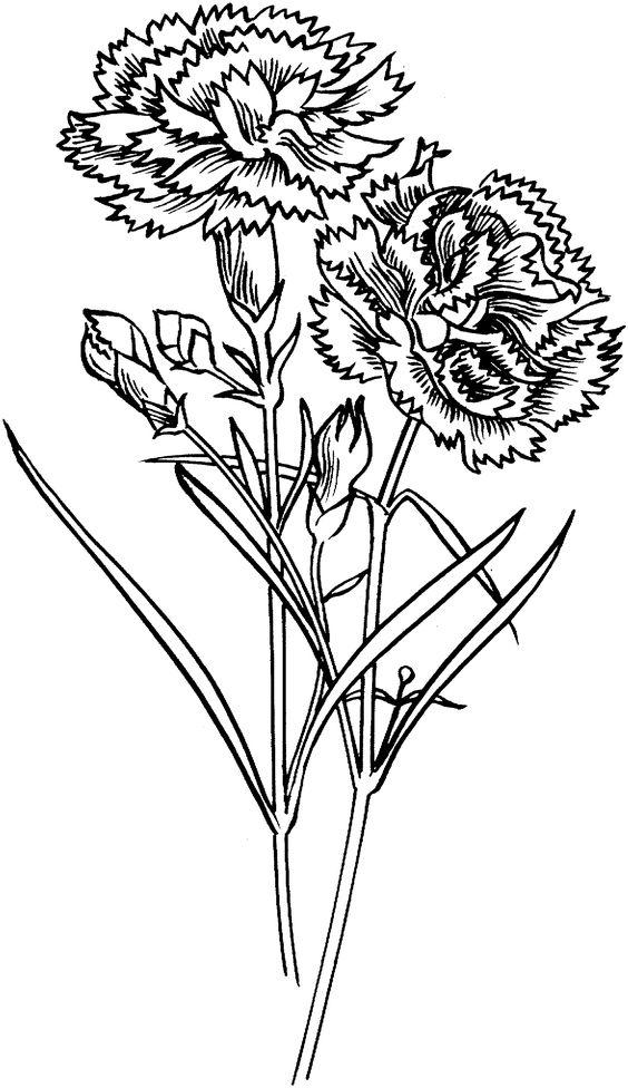 carnation flower drawing - Pesquisa Google
