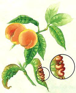 Pfirsich: Tipps gegen die Kräuselkrankheit - Mein schöner Garten