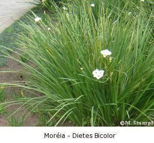moréia - dietes bicolor