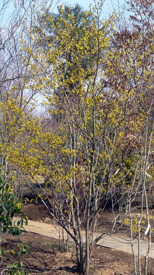自然樹形シロモジ販売 秋元園芸 園芸 クロモジ 落葉