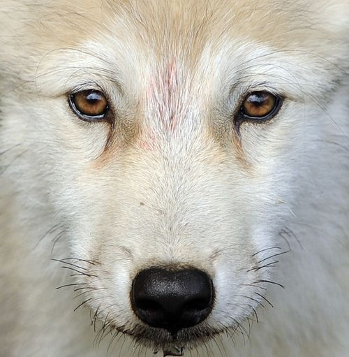 """An arctic wolf pup with such soulful & sorrowful eyes. I simply adore the """"spirit"""" of the wolf. It fills me with sadness to know that our continued ignorance of these beautiful creatures has them on the brink of extinction."""