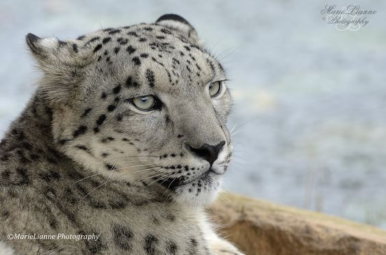 Snow Leopard  By Marie Warwick  MarieLianne Photography  You can Follow me on 500px and Facebook
