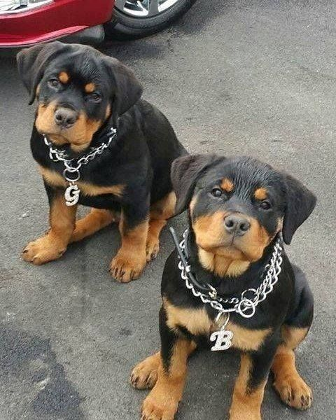 Rottweiler Dog Breed A Great Family Protector Ultimate Guide