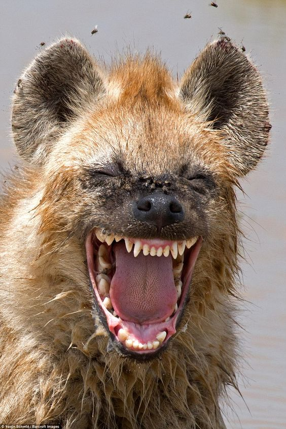 Jokes: A hyena appears to find something hilarious in a shot capture by Yaron Schmid in the Serengeti, Tanzania, in February
