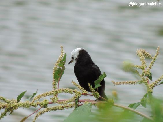 Freirinha (Arundinicola leucocephala) fotografada em Caconde/SP, em Abril/14.