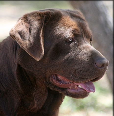 Show Labs Retired Champions Adult Dogs | Kenya Labradors ...
