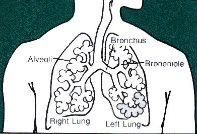 lungs, tags and simple on pinterest simple diagram of lungs