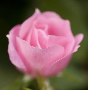 The concept of Earth-Kind® roses began in Texas in the late 1990s, when a professor at Texas A was asked for recommendations on roses that were attractive and low-maintenance. The professor realized that no systematic study had been done in this area and set about creating the Earth-Kind® trials.