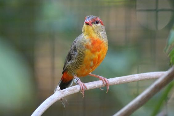 Oiseaux, Petits Exotiques (Astrilds Asiatique) : Bengali à ventre jaune