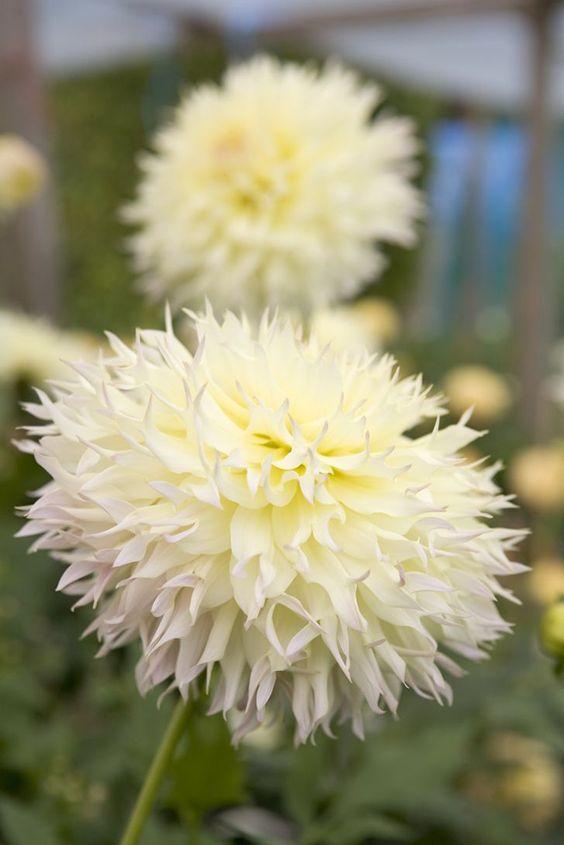 Dahlia 'Citron de Cap'. Semi-cactus. Photo by Sarah Cuttle.