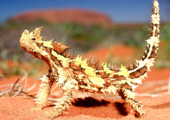 Love this Lizard. Bit of a Clint Eastwood attitude going on